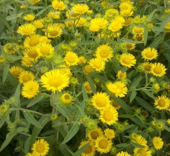 精品菊花种植