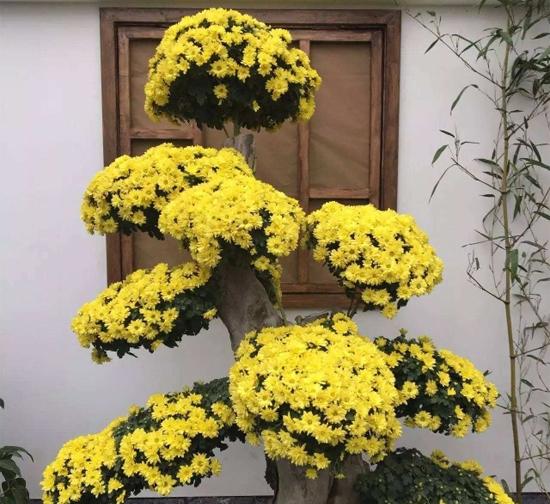 造型菊花种植